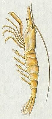 Žabernatí - Garnát obecný