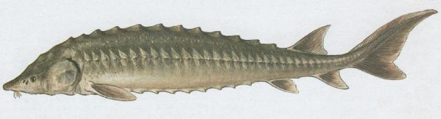 Ryby - Chrupavčití - Jeseter ruský (Acipenser gueldenstaedti Brandt)