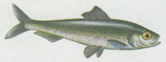 Ryby - Bezostní - Sardinka obecná (Clupea pilchardus)