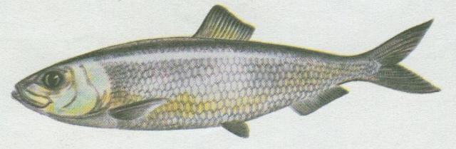 Ryby - Bezostní - Sleď obecný (Clupea harengus)