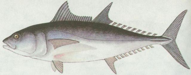 Ryby - Ostnoploutví - Tuňák obecný (Thynnus thynnus)