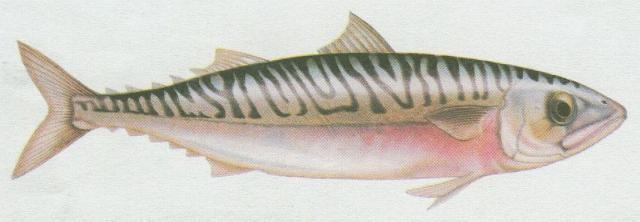 Ryby - Ostnoploutví - Makrela obecná (Scomber scomber)