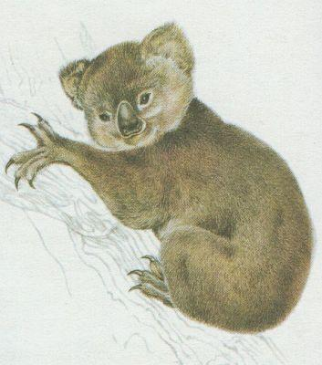 Savci - Vačnatí - Koala australský (Phascolarctos cinereus)