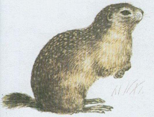 Savci - Hlodavci - Sysel obecný (Citellus citellus /L./)