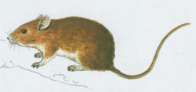 Savci - Hlodavci - Myšice lesní (Apodemus flavicollis)