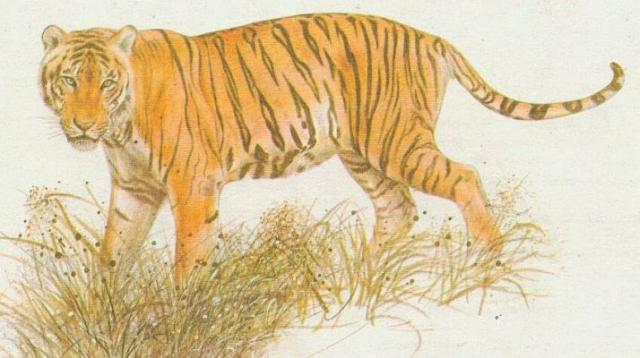 Savci - Šelmy - Tygr sibiřský (Panthera tigris longipilis)