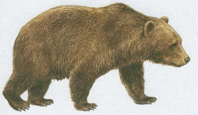 Savci - Šelmy - Medvěd hnědý (Ursus arctos L.)