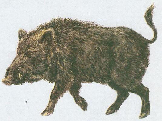 Savci - Sudokopytníci - Prase divoké (Sus scrofa L.)