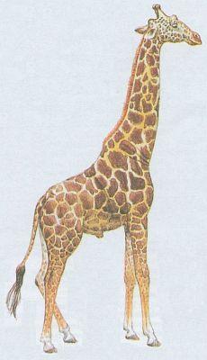 Savci - Sudokopytníci - Žirafa mramorovaná (Giraffa camelopardalis)
