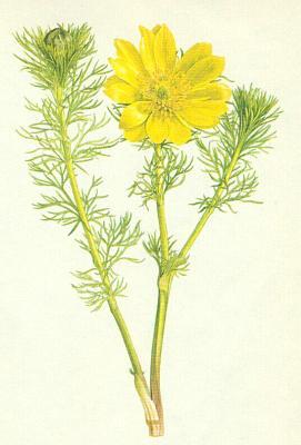 Hlaváček jarní (Adonanthe vernalis/L./ Spach.)