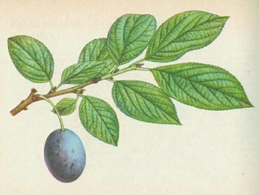 Švestka domácí prunus domestica l iv vi strom s větvemi
