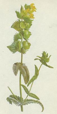 ... do 60 cm viii ix jednoletá lysá nebo roztroušeně chlupatá bylina