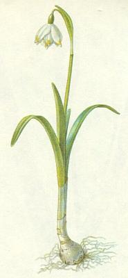 Bledule jarní (Leucojum vernum L.)